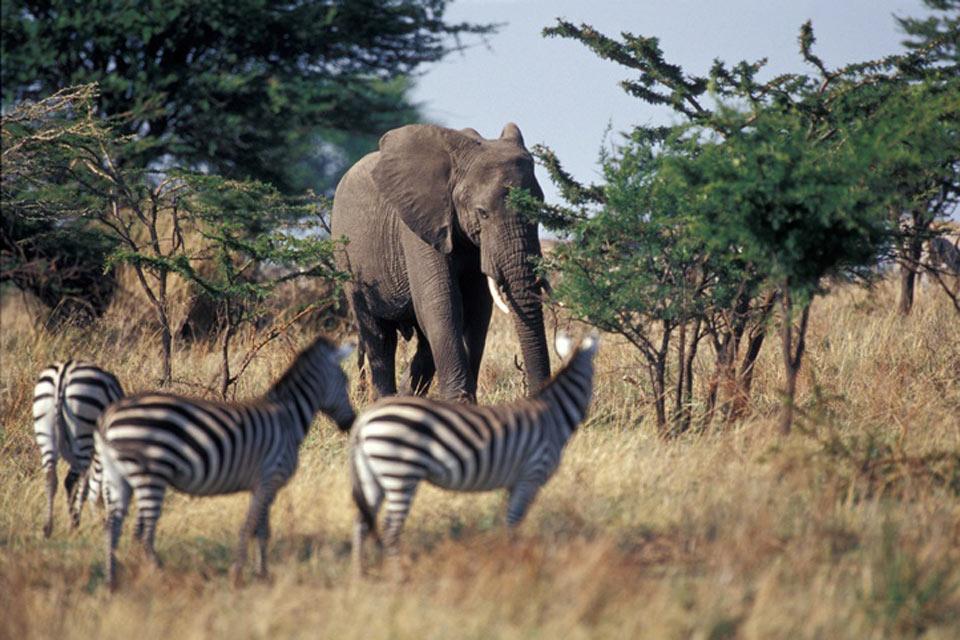 Le Parc National Mikumi , Les herbivores de la savane , Tanzanie