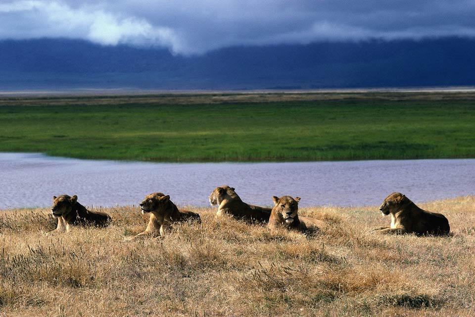 El Parque national de Arusha , Las reinas de la selva , Tanzania
