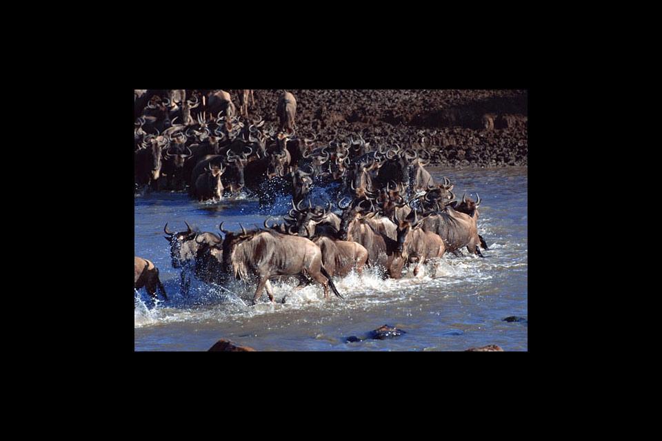 El Parque national de Arusha , Gran migración de ñus en Arusha , Tanzania