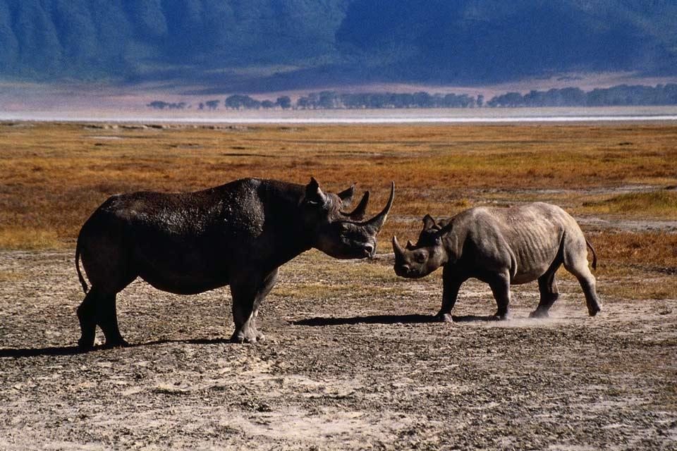 El Parque national de Arusha , Rinocerontes en Arusha, Tanzania , Tanzania