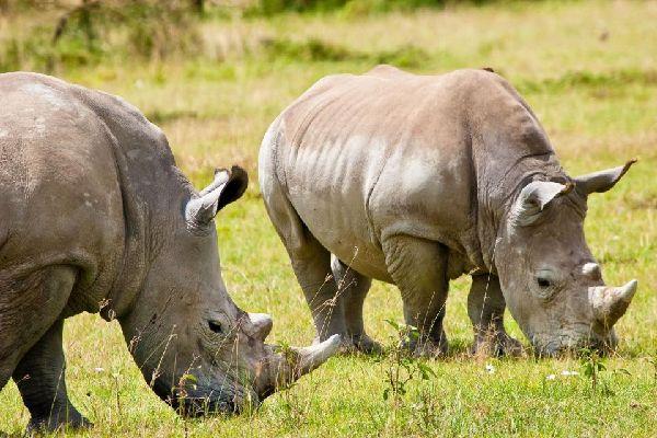 Il Parco Nazionale del Manyara , Rinoceronti nel parco Nazionale di Manyara , Tanzania