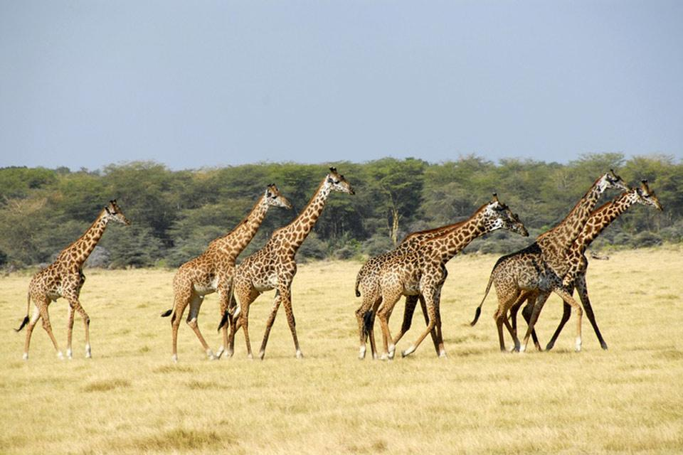 El Parque nacional del Manyara , Jirafas en Tanzania , Tanzania
