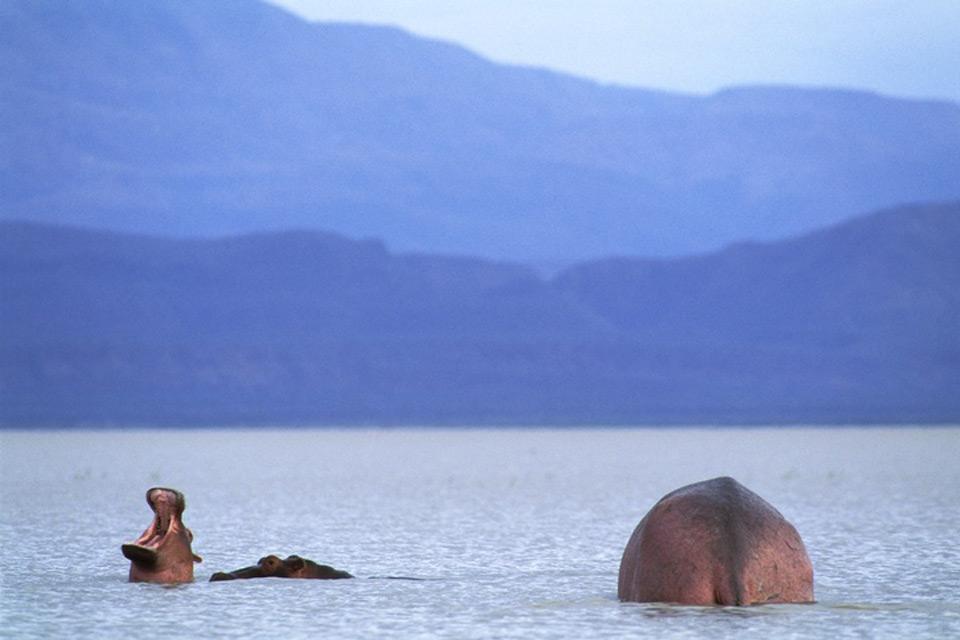 le Parc National du Manyara , Hippopotames dans le lac Manyara , Tanzanie