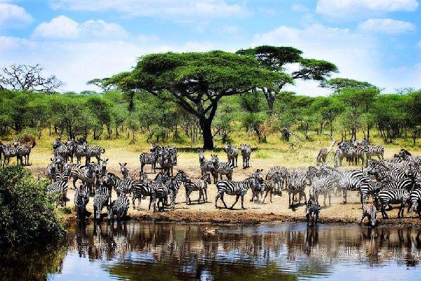 Il Parco Nazionale del Serengeti , Zebre nel parco Nazionale del Serengeti , Tanzania