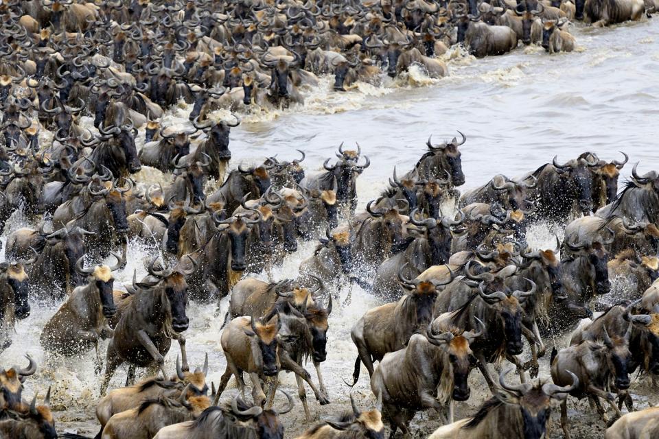 Le Parc National du Serengeti , La migration des gnous aux Serengeti , Tanzanie
