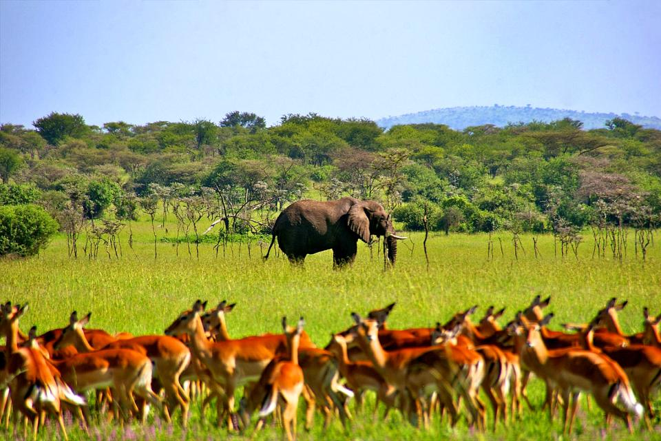 Le Parc National du Serengeti , Impala au Serengeti , Tanzanie