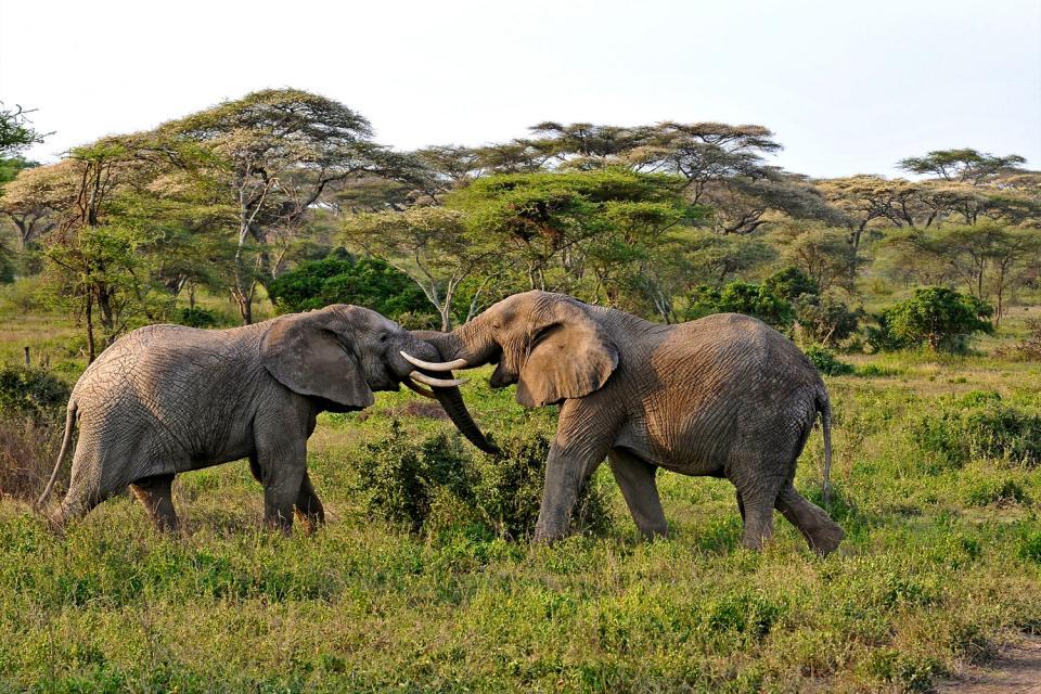 Le Parc National du Serengeti , Eléphant au Serengeti , Tanzanie