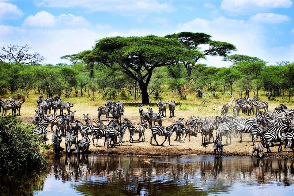 Le Parc National du Serengeti , Zèbres dans le Parc national du Serengeti , Tanzanie