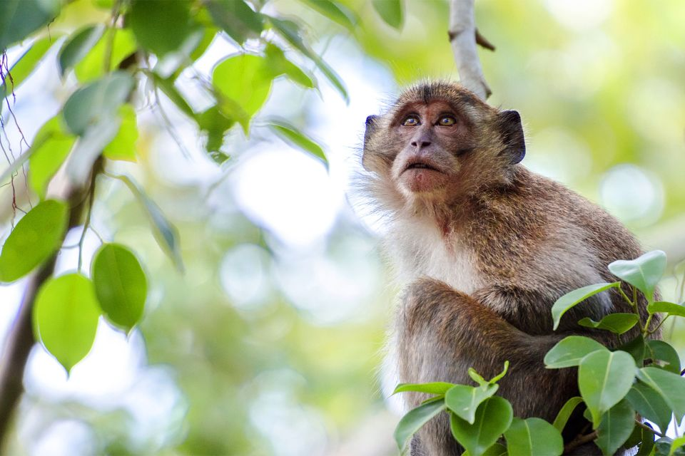 The plateau of Isaan , The monkeys of Isan. , Thailand