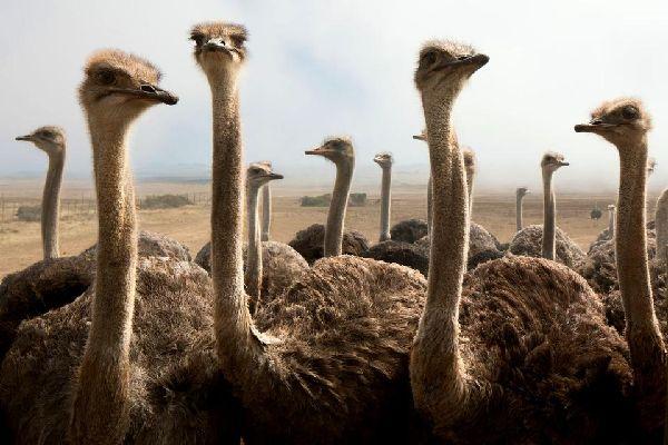 Die Fauna an Land , Ein Strauß in freier Wildbahn , Tunesien