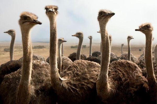 La fauna terrestre , Un avestruz salvaje , Túnez