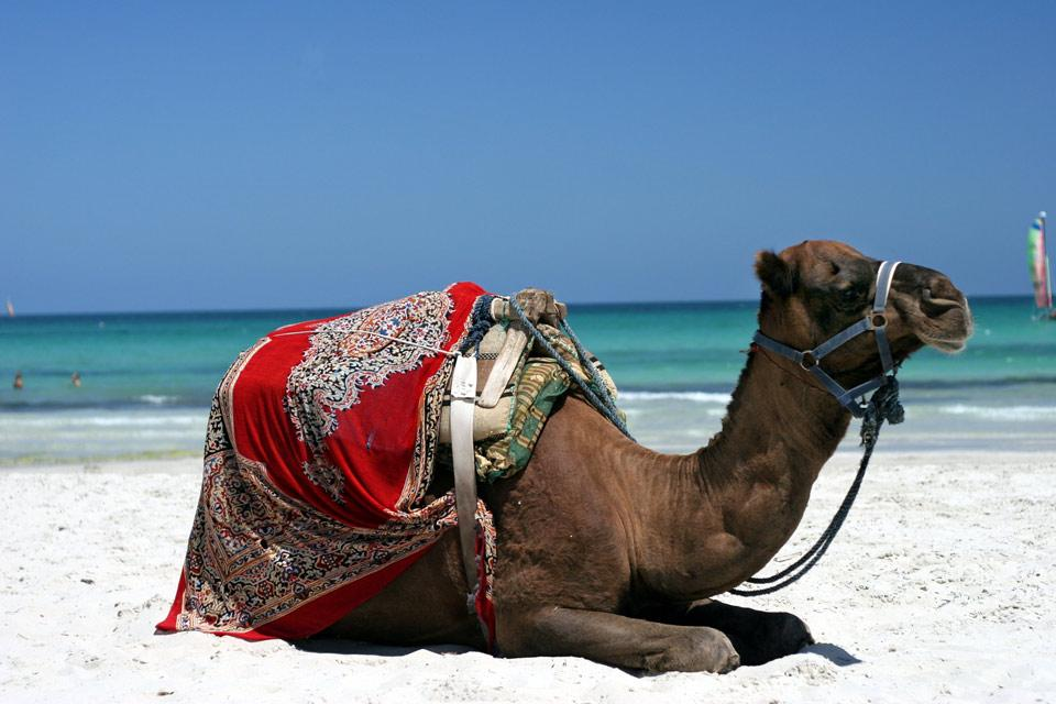 Land wildlife , A dromedary , Tunisia