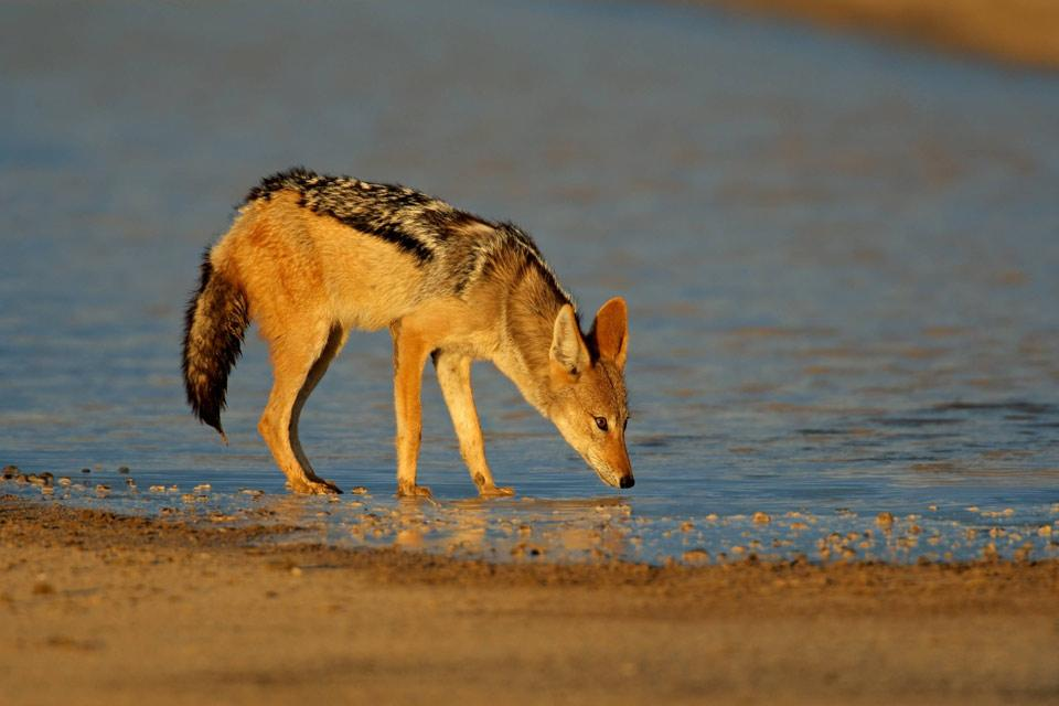 Land wildlife , Black-backed jackal , Tunisia