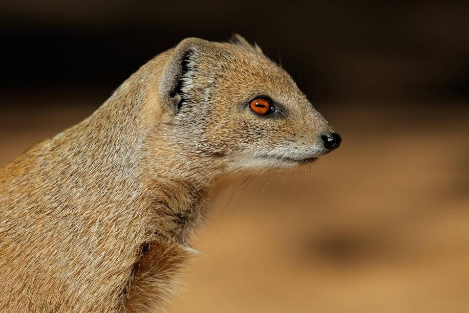 Land wildlife , Yellow mongoose , Tunisia