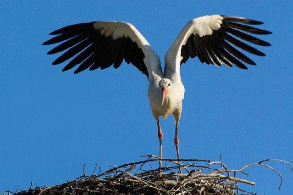 Los pájaros y el Parque Nacional de Ichkeul , Cigüeñas salvajes , Túnez
