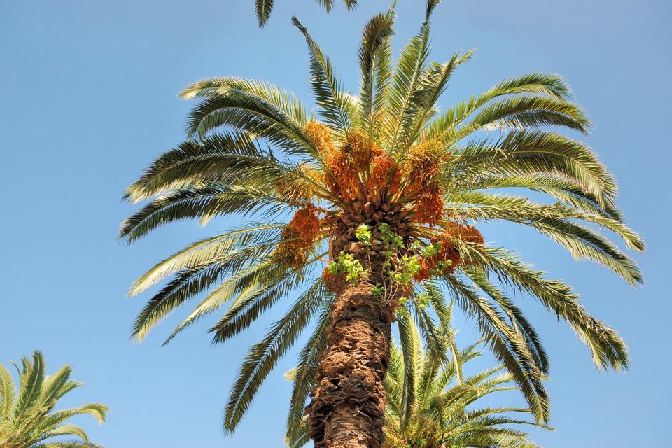 La flore , Palmier tunisien , Tunisie