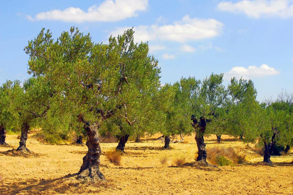 Flora , Olivenbäume in Tunesien , Tunesien
