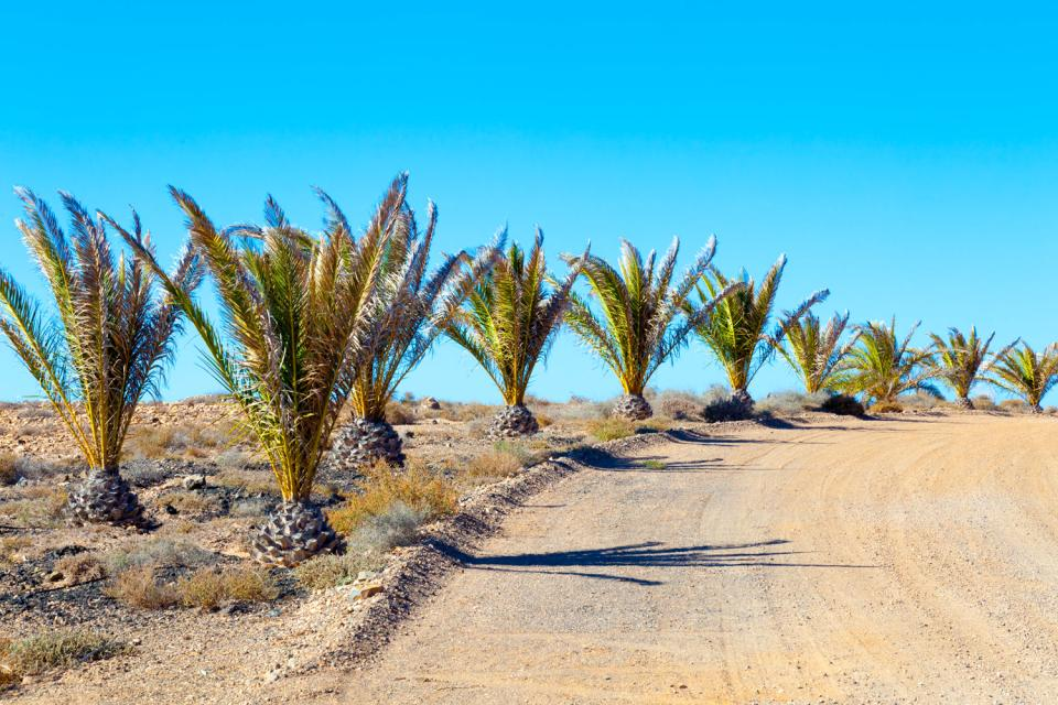 Plantlife , Olive tree plantations in Tunisia , Tunisia