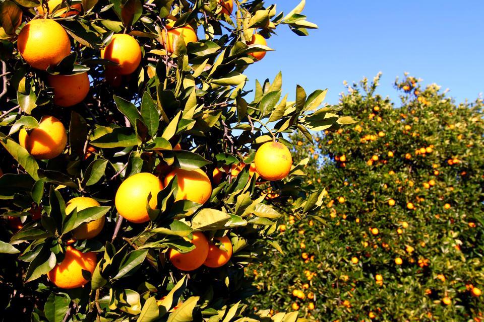 Flora , Orangenbaum in Tunesien , Tunesien