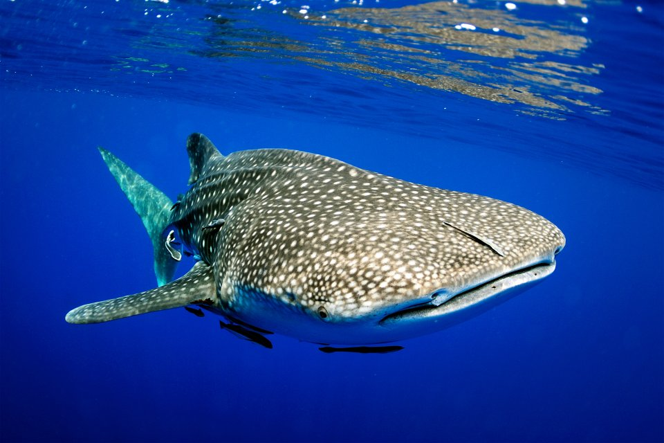 Le requin baleine, Les réserves naturelles, La faune et la flore, Turks et Caicos