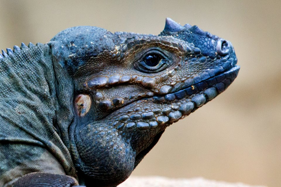 The rhinoceros iguana, Nature reserves, The fauna and flora, Turks and Caicos islands