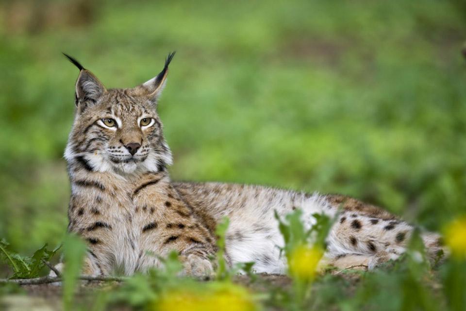 Wildlife , Eurasian Lynx , Turkey