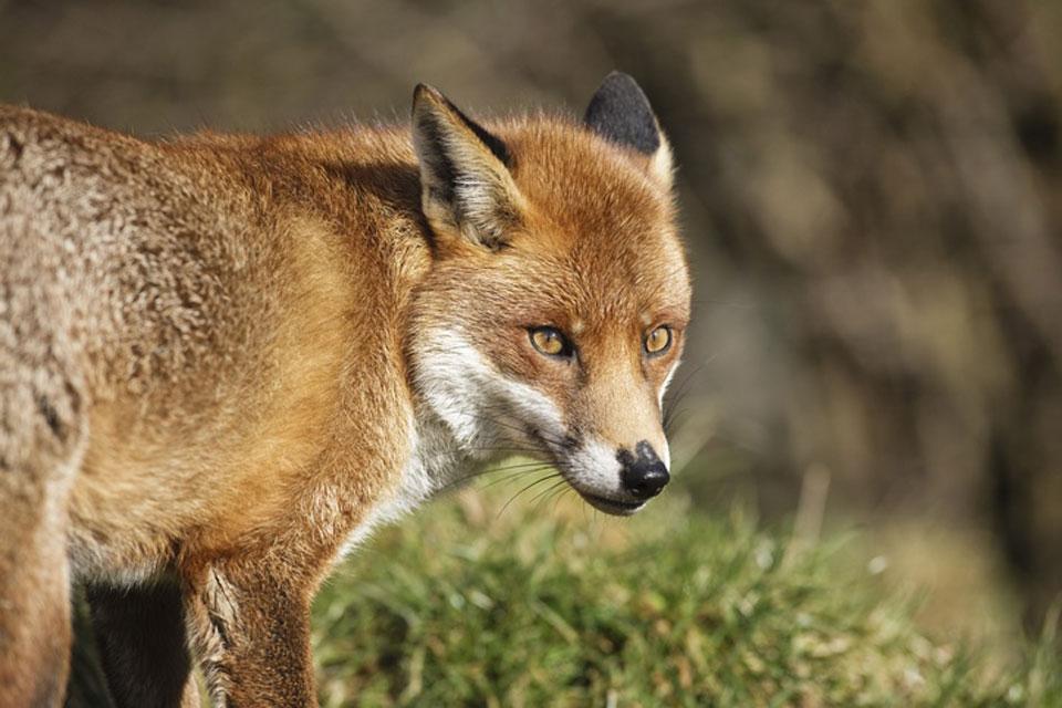 Die Tierwelt , Der Fuchs , Türkei