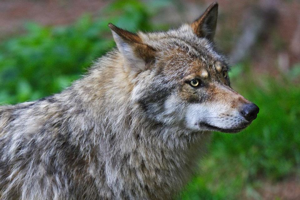 Die Tierwelt , Der Grauwolf , Türkei