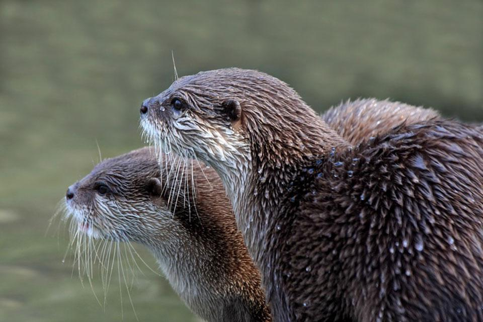Die Tierwelt , Otter , Türkei