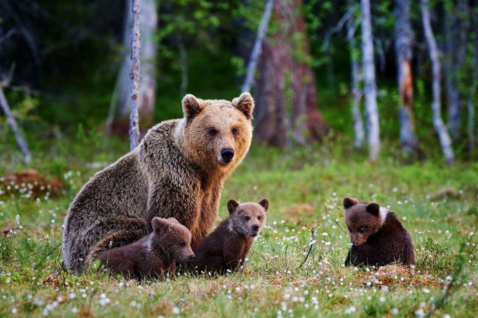 La faune et la flore, faune, animal, mammifère, plantigrade, ours, ourson, turquie, moyen-orient, nature, forêt