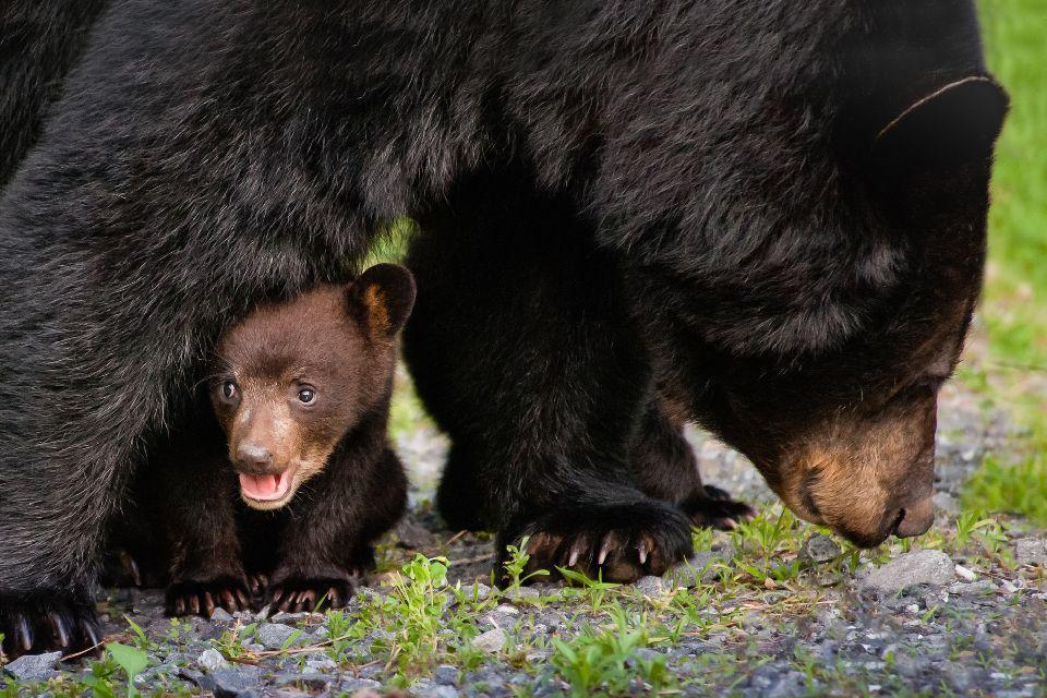 Bären, Wölfe, Wildschweine, Auerochsen, Hirsche... , Bären, Wölfe, Wildschweine, Auerochsen... , Ukraine