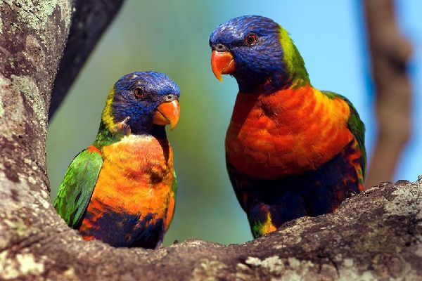 Die Tierwelt , Die Landfauna , Vanuatu