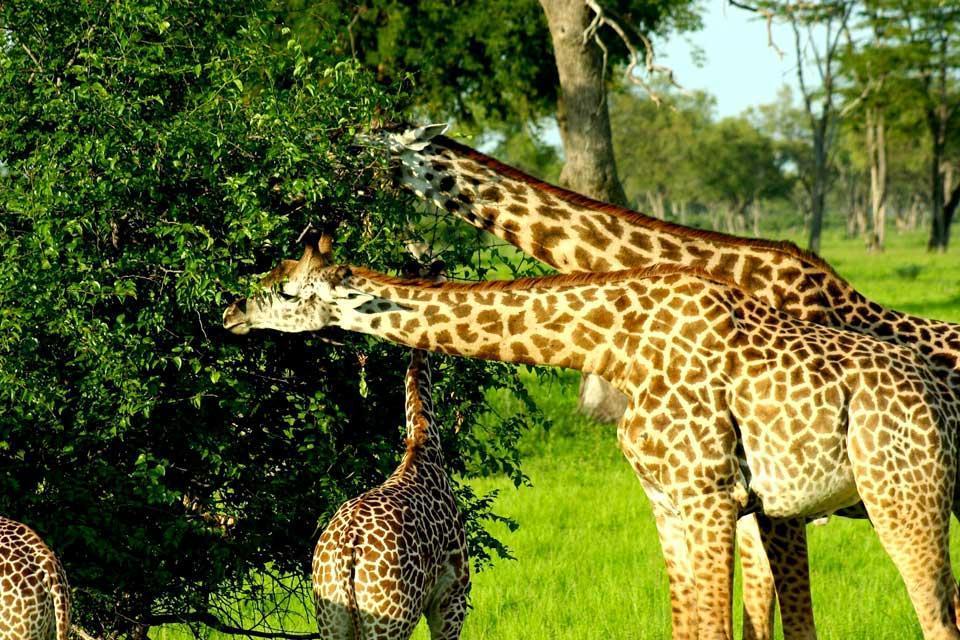El Parque Nacional de Luangwa , Zambia