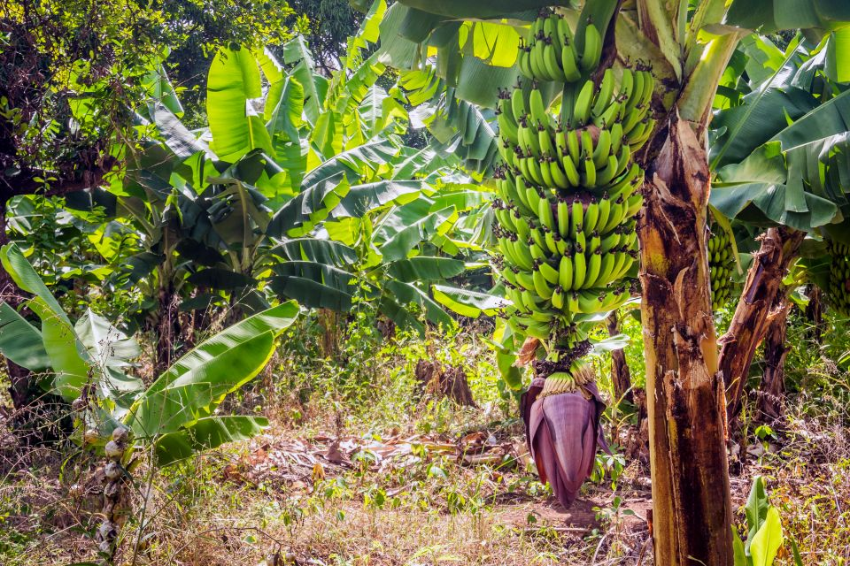 Les paysages, zanzibar, tanzanie, afrique, forêt, végétation, flore, fruit, alimentation, arbre, banane, bananier
