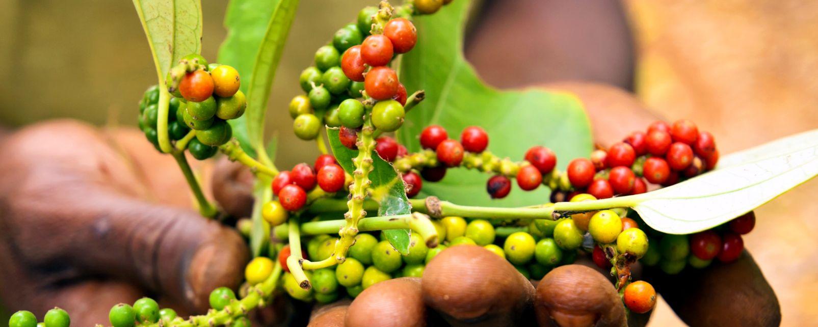 Circuito Zanzibar : Le spice farm zanzibar tanzania