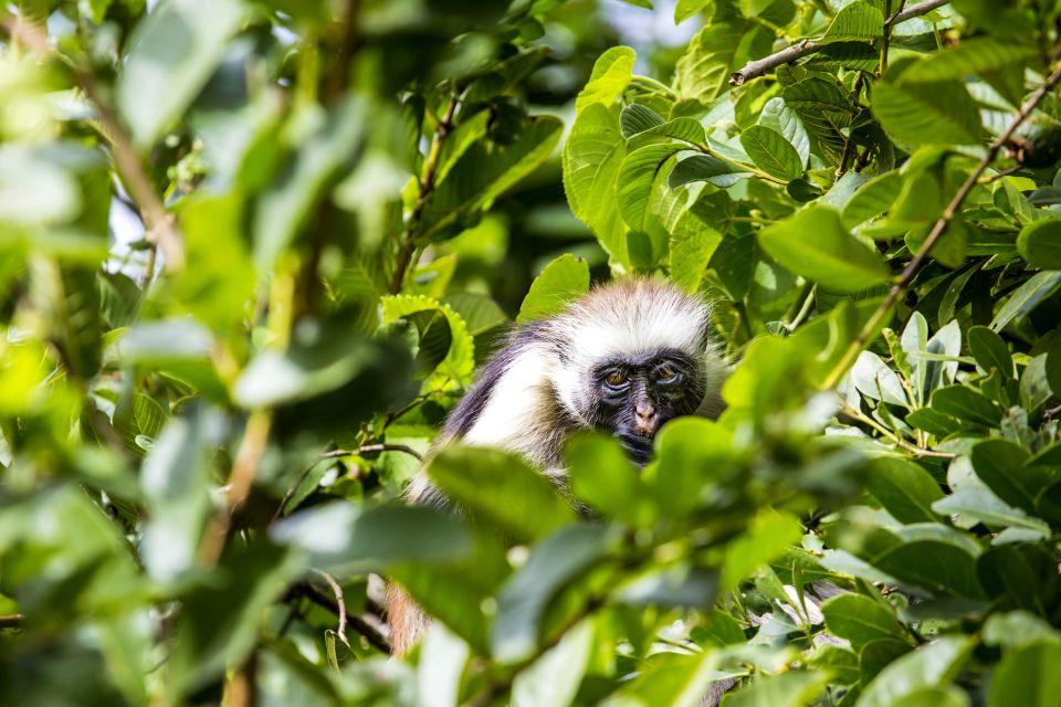 Los monos colobos rojos, Los monos colobo rojo, La fauna, Zanzibar