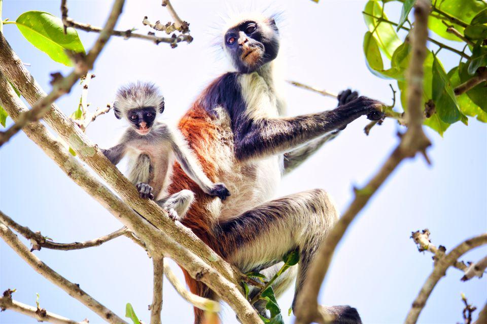 Le scimmie colobo rosse , La foresta di Jozani , Tanzania