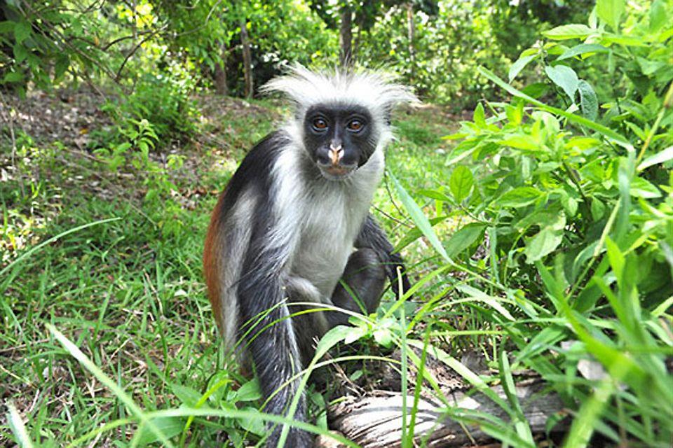 Le scimmie colobo rosse , Colobo rosso , Tanzania