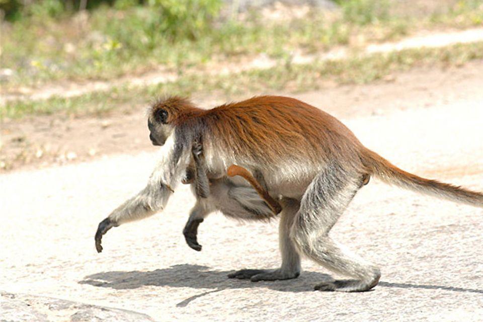 La fauna de Zanzíbar, Los monos colobo rojo, La fauna, Zanzibar