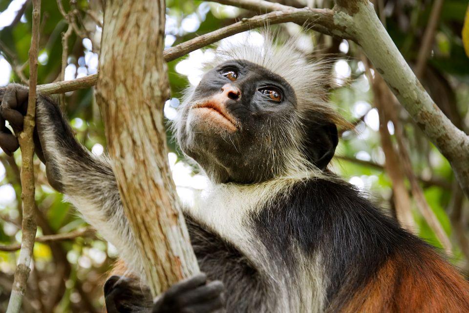 Los monos colobo rojo, La fauna, Zanzibar