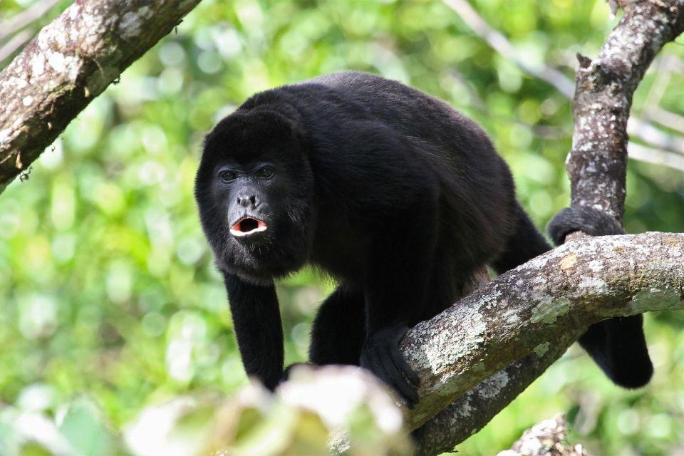 Le Bermudian Landing Community Babboon Sanctuary , La sanctuaire babouin au Belize , Belize