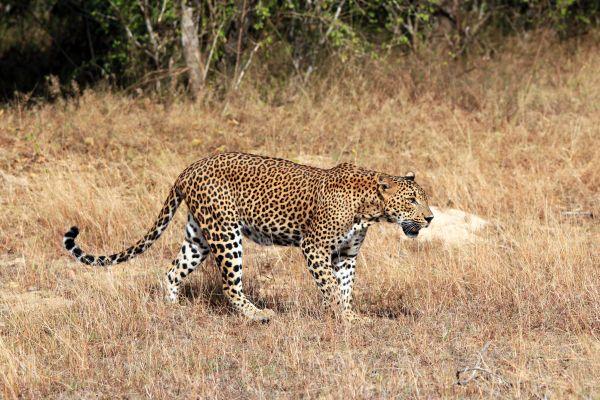 La faune et la flore, Iran, perse, Moyen-Orient, faune, animal, guépard, félin, mammifère.