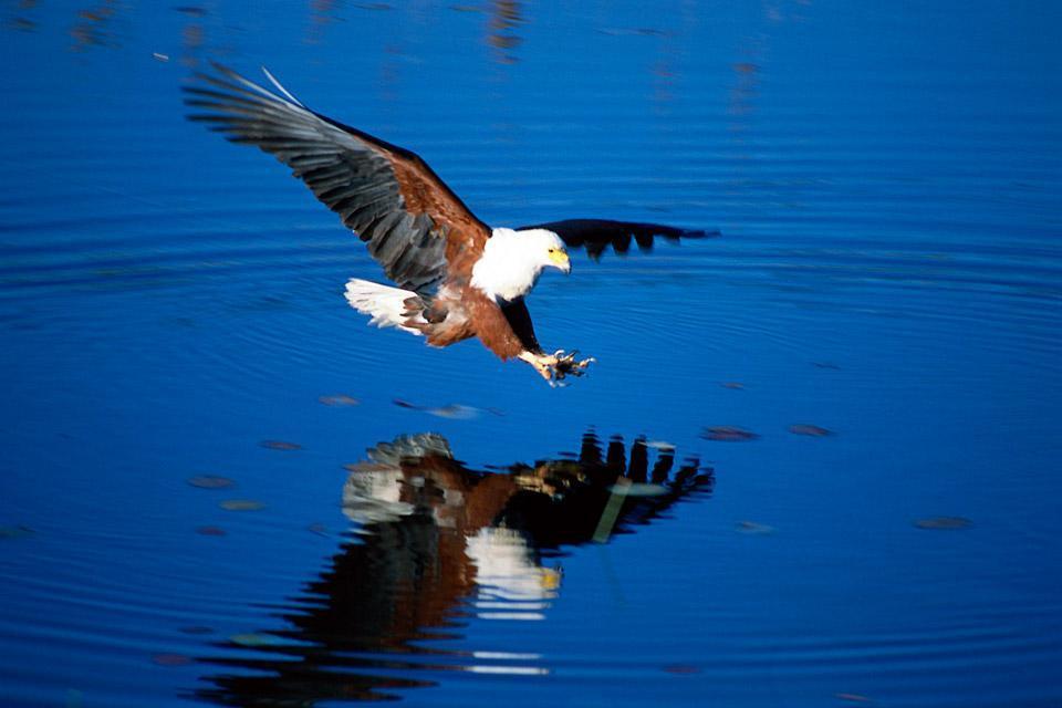 Oiseaux , L'aigle , Botswana