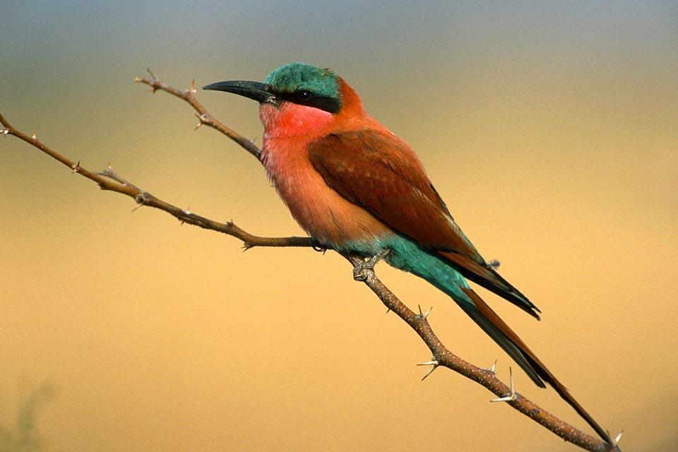 Oiseaux , Le guêpier carmin , Botswana