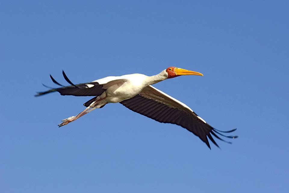 Oiseaux , Les espèces d'oiseaux , Botswana
