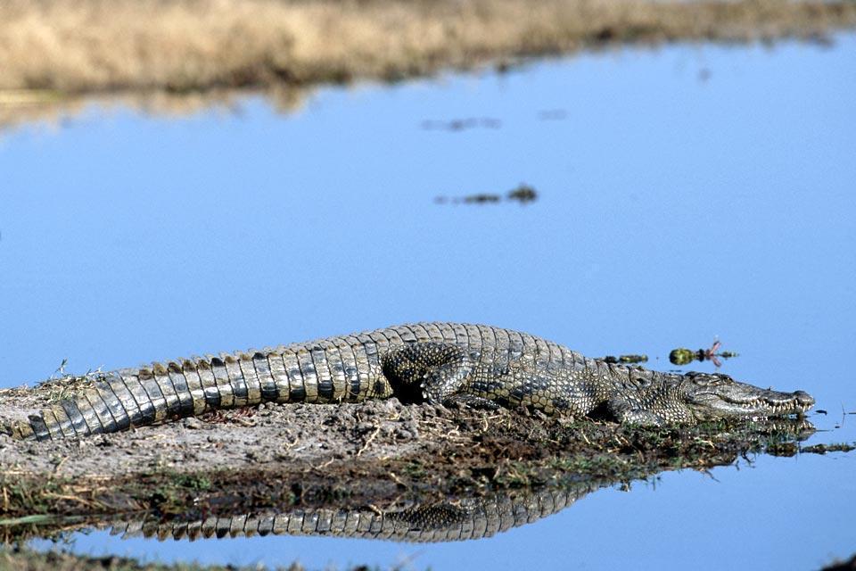 Reptiles , Botswana