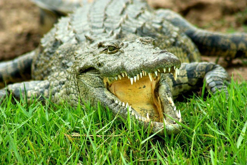 Reptiles , Reptiles, Botswana , Botswana