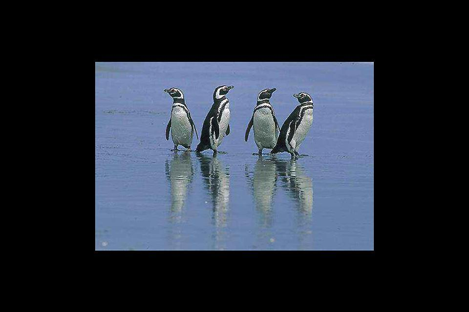 La faune , Les pingouins de Magellan aux Malouines , Malouines