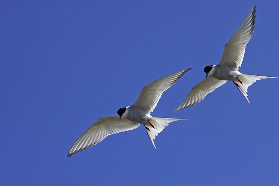 L'observation des oiseaux , Sternes arctiques , Islande
