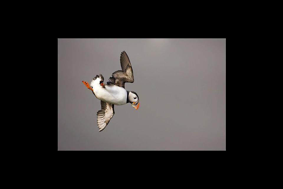 Vogelbeobachtung , Papageitaucher im Flug , Island